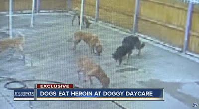 Varios perros se intoxican por ingesta de heroína | Vídeo