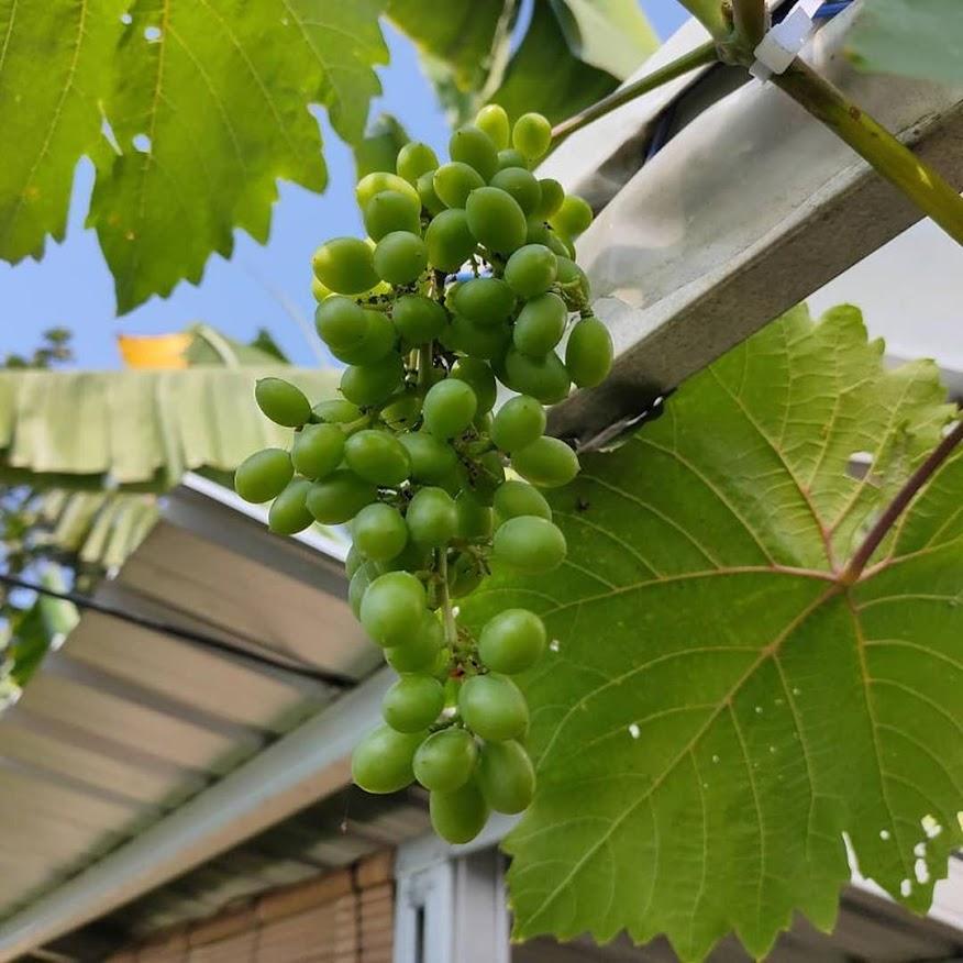 Bibit anggur harold VALID Bukittinggi