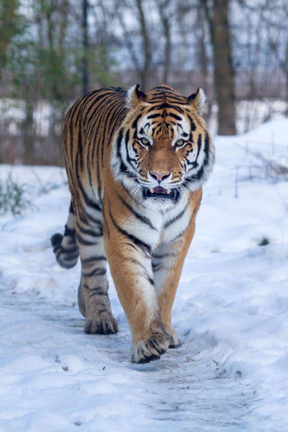 نمر, صور حيوانات, Panthera pardus,tiger ,سنوريات,صور