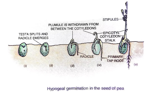 types of seed germination