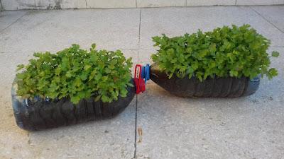 زراعة الكزبرة بالبذور