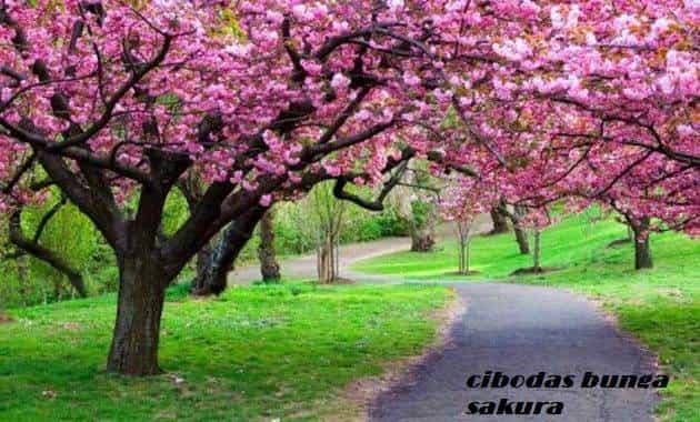 jenis bunga sakura diindonesia