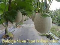 Cara Menanam Melon Agar Berbuah Besar Dan Berbuah 3