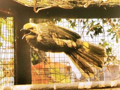Gambar Alasan Kenapa Memilh Cucak Rowo Sebagai Burung Peliharaan Yang Menggoda
