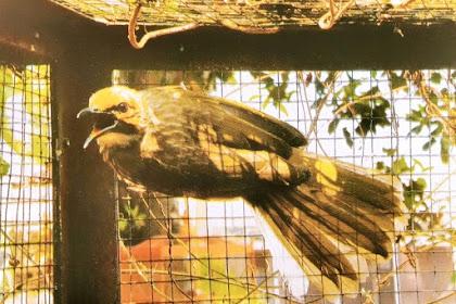 Alasan Kenapa Memilh Cucak Rowo Sebagai Burung Peliharaan Yang Menggoda