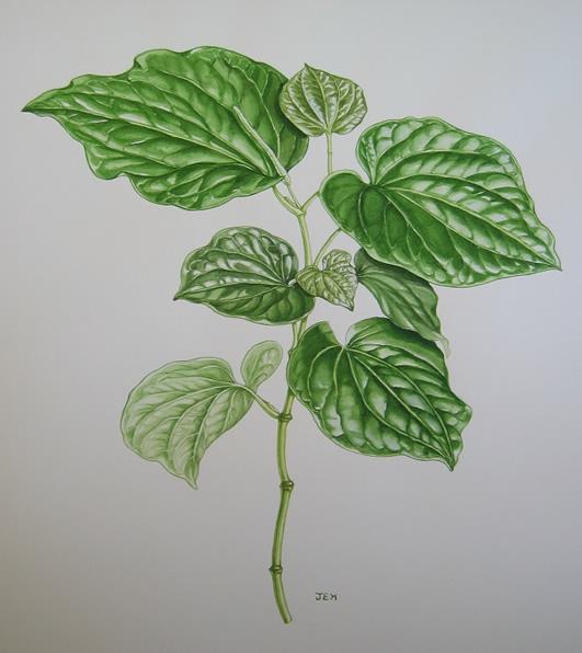 Kava-kava illustration