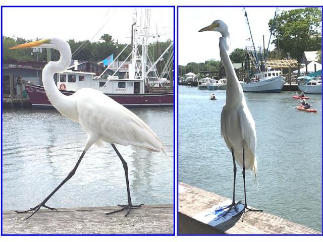 waterfowl; great egret; Mt. Pleasant; South Carolina; Ardea alba; photography; Giorgio Coniglio