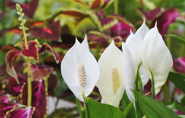 وردة زنبق السلام