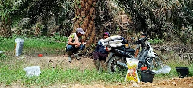 Jenis dan Manfaat Pupuk untuk Kelapa Sawit