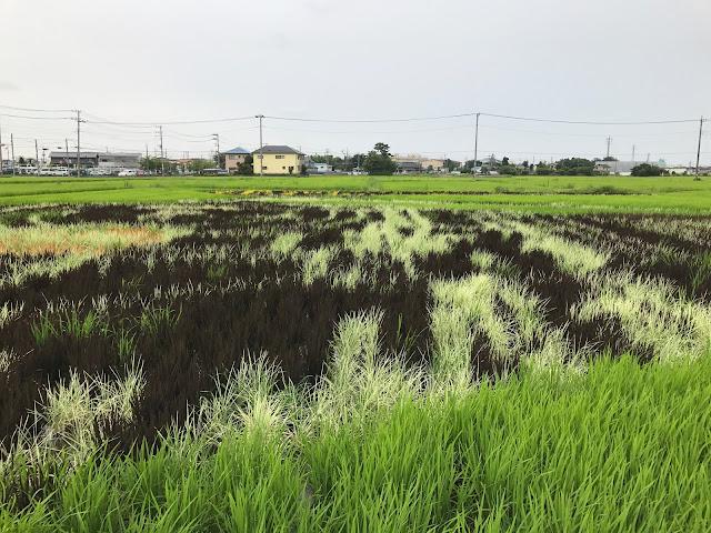 こしがや田んぼアート2017銀河鉄道999(7/23)