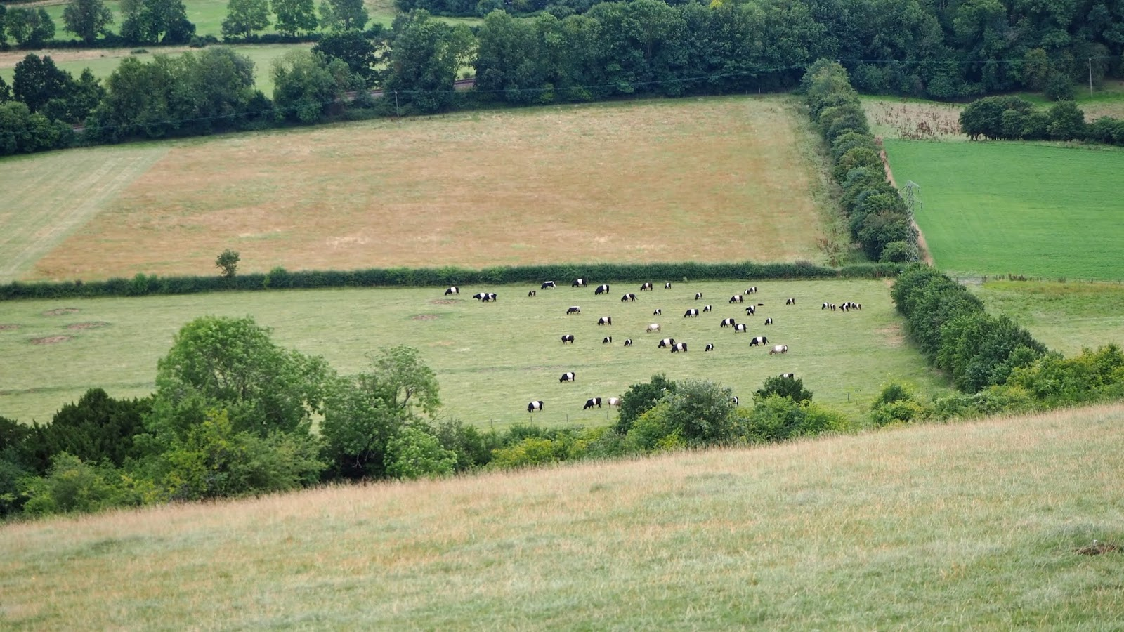 Cows in Dorking