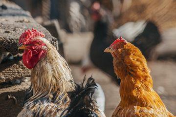 Daging ayam kampung lebih disukai oleh masyarakat
