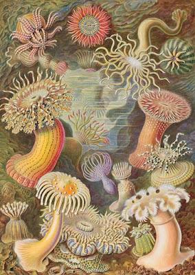 Actiniae, 1907, por el naturalista Ernst Haeckel