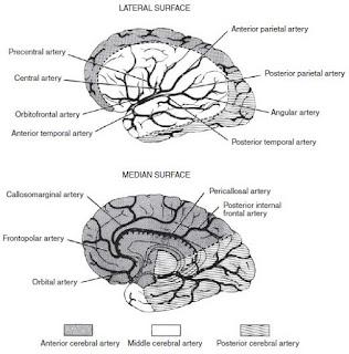 cerebral cortex anatomy