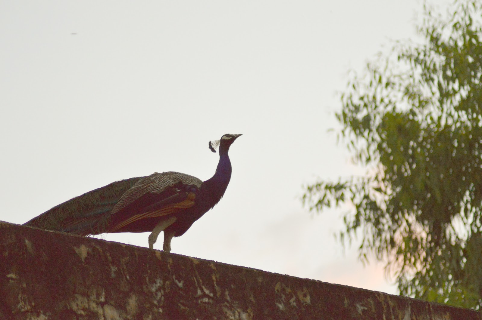 peacock-on-concrete-wall-pictures