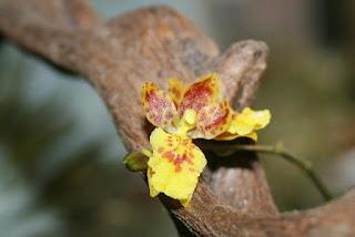 orquidea oncidium flor
