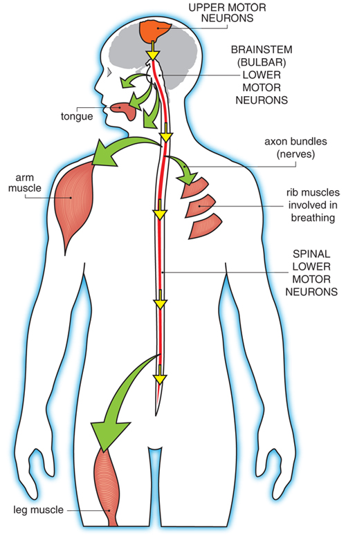 motor neurons and muscles affected by Lou Gehrig's disease
