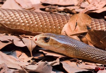 Самые ядовитые змеи мира: Самые опасные змеи мира
