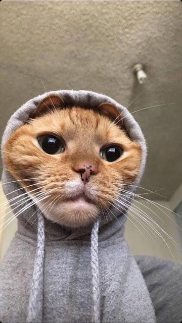 Wallpaper funny cat download Selfie iphone