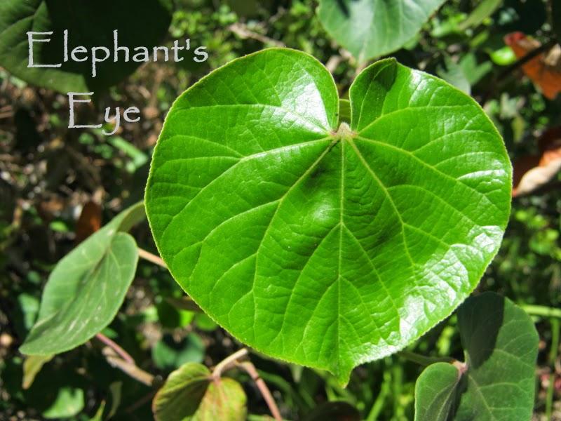 Leaf heart Hibiscus tiliaceus
