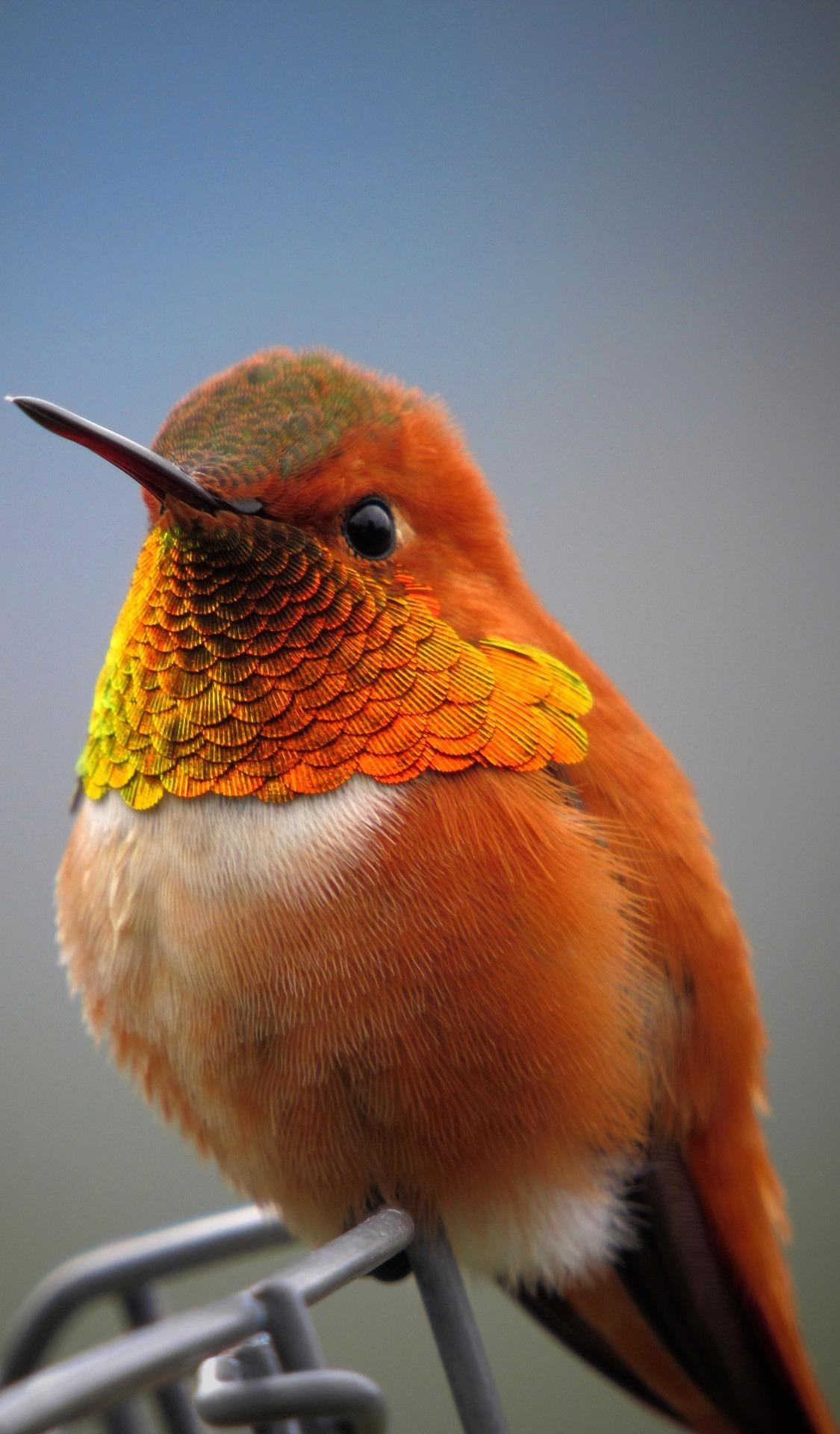 Beautiful rufous hummingbird.
