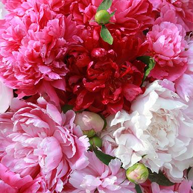 Peony_Flower_Loccitane
