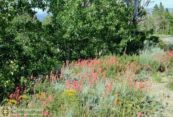 Desert Paintbrush, Conway Summit
