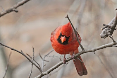 "This photograph features a male cardinal perched on the branch of a tree and looking down. This bird type is featured in my book series, ""Words In Our Beak."" Info re these books is in another post on this blog @ https://www.thelastleafgardener.com/2018/10/one-sheet-book-series-info.html"