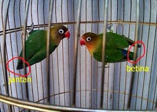 cara membedakan lovebird jantan dan betina anakan,lovebird jantan atau betina untuk lomba,membedakan lovebird jantan dan betina dari paruh,cara membedakan lovebird jantan dan betina secara fisik,