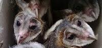 Anak Burung Hantu Barn Owl