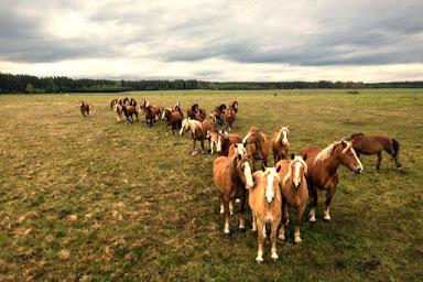 https://www.dreamstime.com/horses-walking-line-pasture-drone-view-green-landscape-herd-brown-horses-horses-walking-line-pasture-image157415572#res1853317