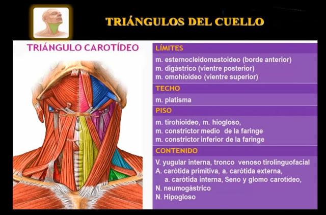 Triángulo carotideo del cuello