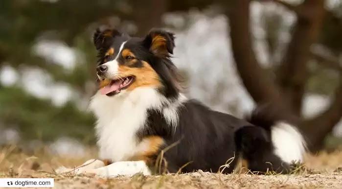Border Sheepdog Dog Breed