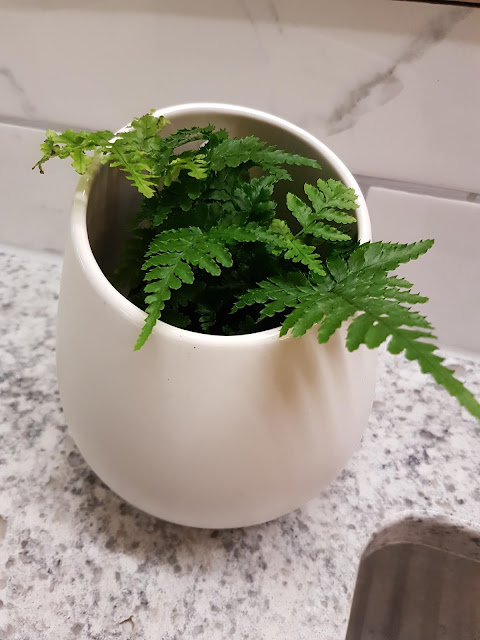 Ferns for home offices, the Camellia