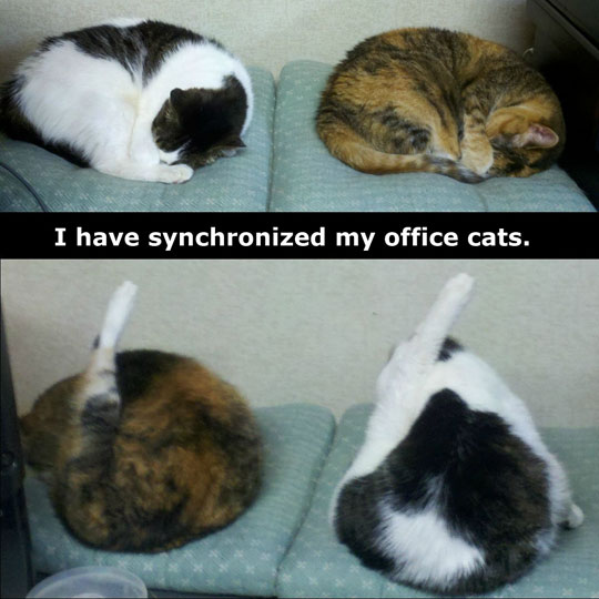 my office cats are synchronized