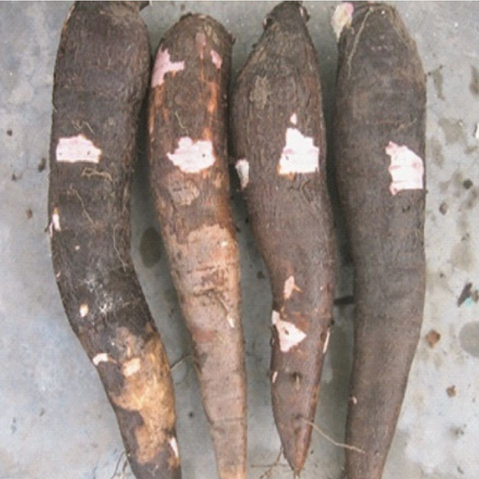 RTIMP Knowledge Center : Cassava Varieties - Capevars Bankye