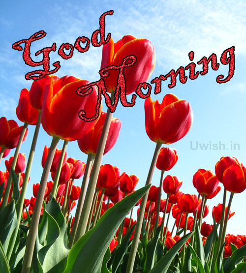 Good Morning with red tulips on background  Good Morning  wishes and e greeting cards