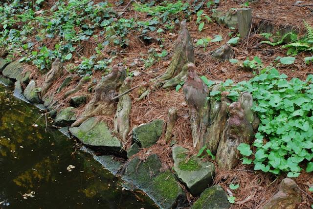 Taxodium  distichum ,cypryśnik błotny, zielona metamorfoza.pl, projekty zieleni, ogrodów