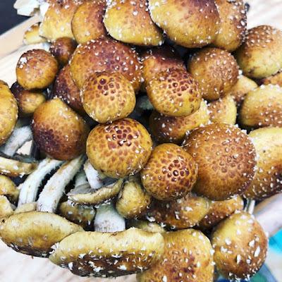 Cinnamon Cap mushrooms