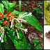 Serpentina (Indian Snakeroot): A Possible Remedy For A Number Of Health Problems
