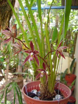 Cymbidium borneense - The Borneo Cymbidium care and culture