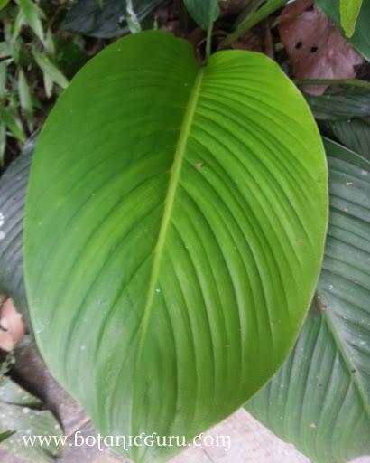 Spathiphyllum cannifolium, Peace Lily leaves