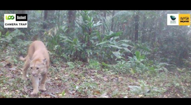 Mais de mil animais são registrados em câmeras  de monitoramento no Legado das Águas