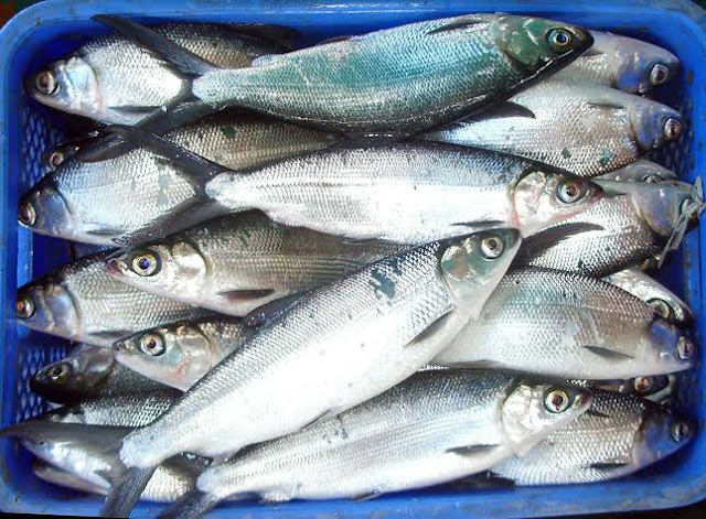 How is milk used after fish?