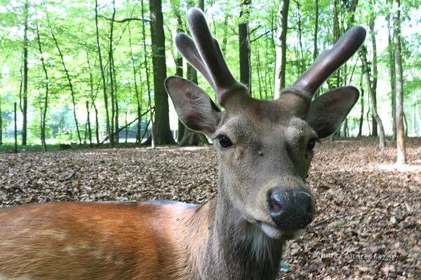Junger Hirsch in Troisdorf / eigene kleine Welt