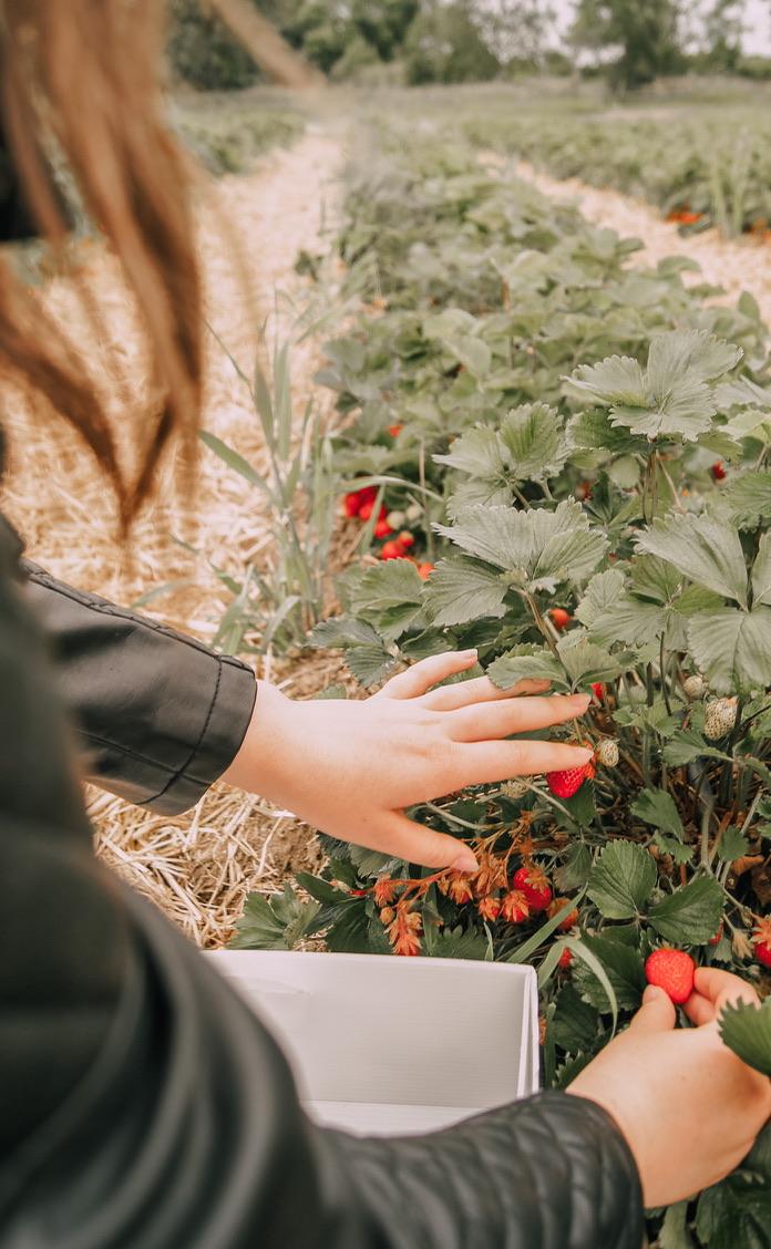 hands picking strawberries