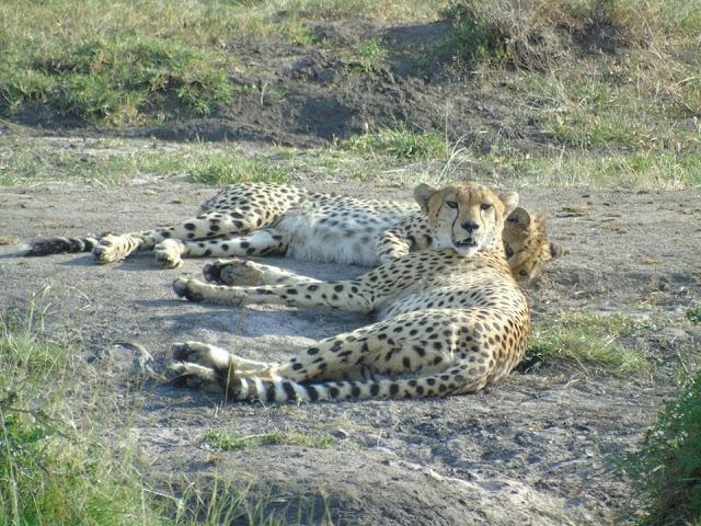 cheetah and cheetah cub masai mara kenya africa safari
