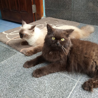 Mengatasi-flutd-pada-kucing