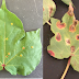 Southwestern cotton rust disease found in Gaines County