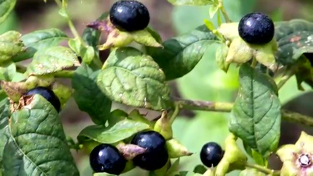 Most Poisonous Plants, Deadly Nightshade